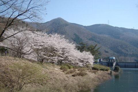 石井食品京丹波工場近くの桜祭り
