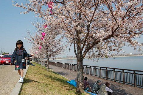 久米田池公園西のお花見