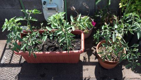 プランターと鉢に植えた中玉トマト苗