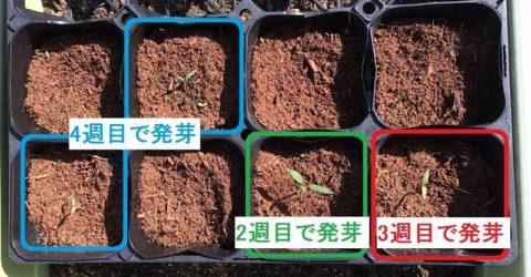ダイソーのトマトの種が発芽
