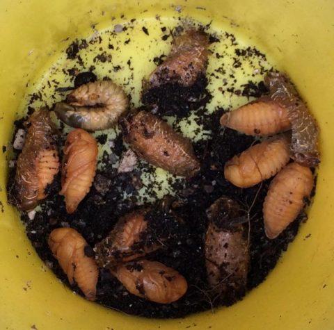 コガネムシ幼虫、サナギ